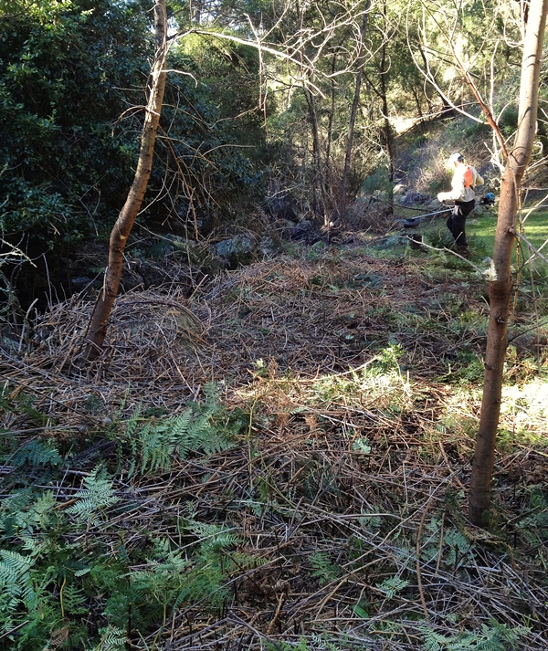 Clearing Lantana with a BrushDestructor Blade - DarrenWilliams - After