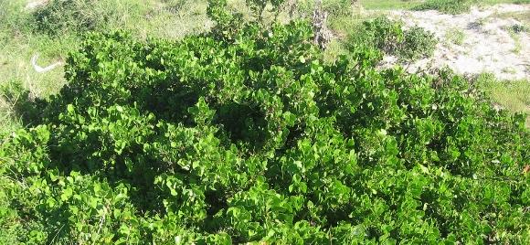 Weed, Bush, Bitou(580x268)