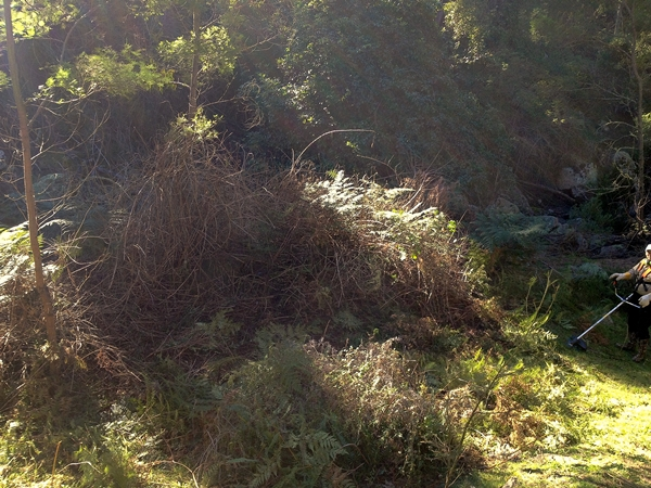Clearing Lantana with a BrushDestructor Blade - DarrenWilliams - Before